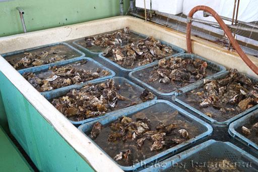宮城県松島の磯崎漁業組合の牡蠣の加工場