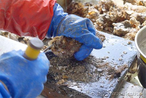 宮城県松島の磯崎漁業組合の牡蠣の殻剝き